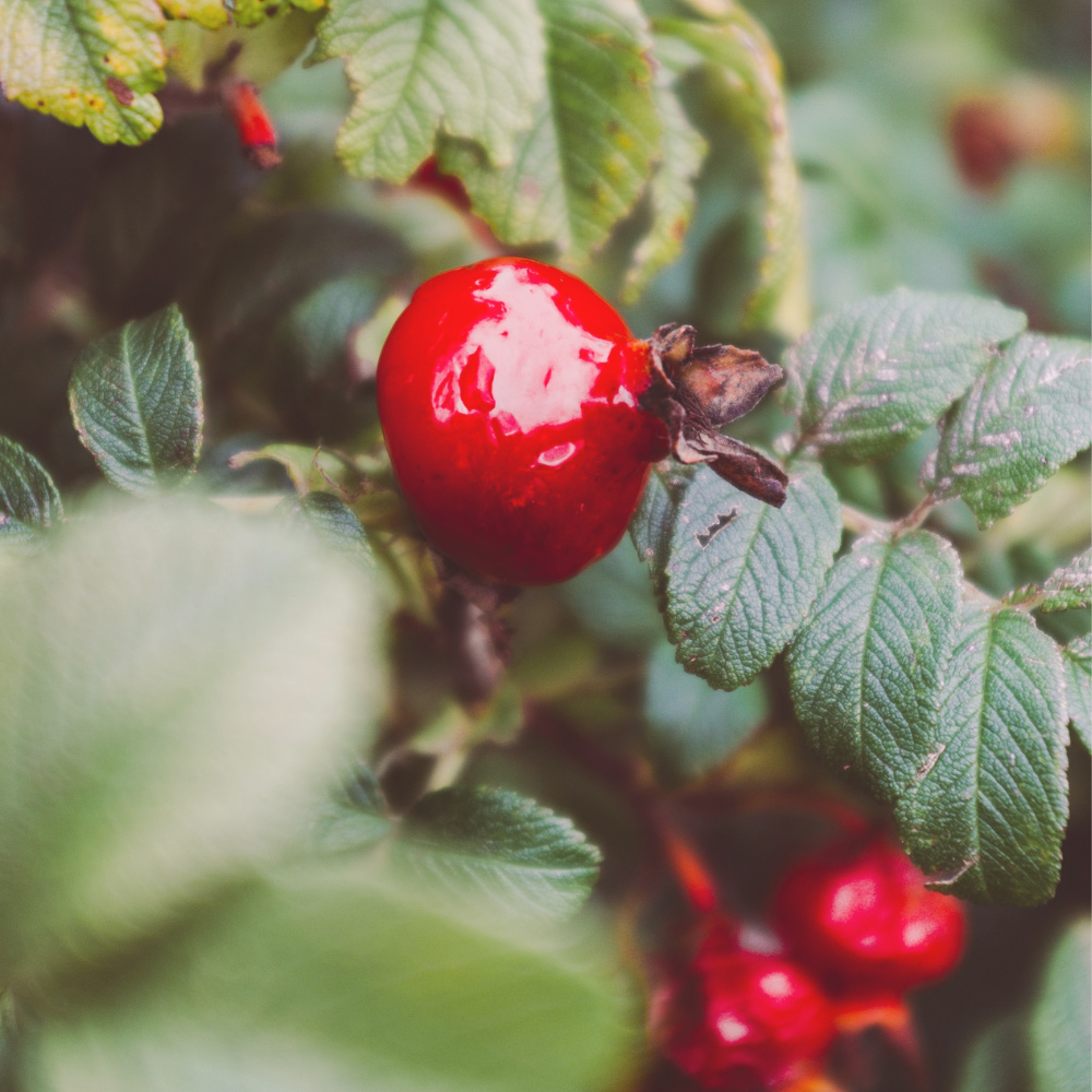An image of a rose hip which can be a beneficial ingredient in improving scar appearance